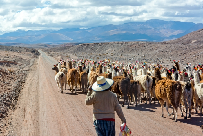 san_pedro_llama_herd_and_person1