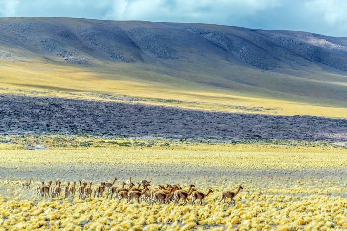 san_pedro_yellow_field_of_vicunas1