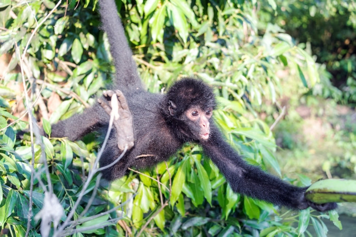 Black spider monkey reaching for a banana in Madidi National Park in Bolivia