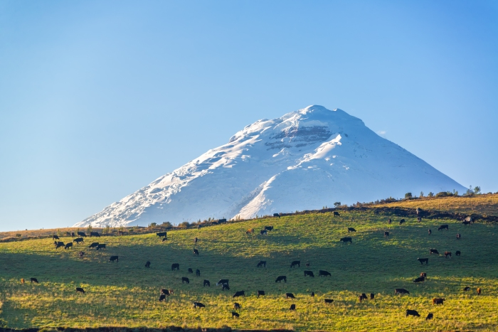 Cotopaxi Volcano and Livestock