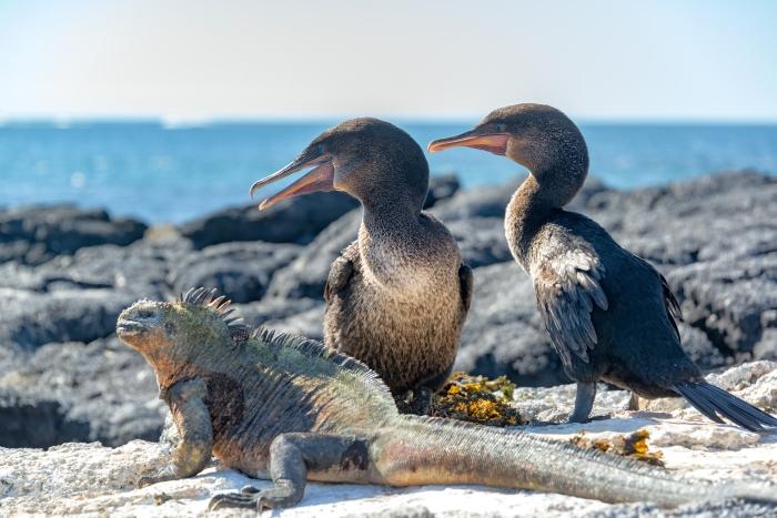 Flightless Cormorants and Marine Iguana