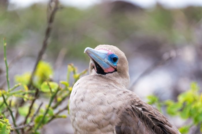 Closeup of the face of a red footed booby in the Galapagos Islands in Ecuador
