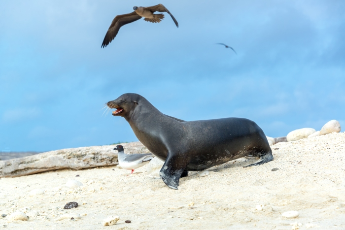 Sea lion with a Red Footed Booby overhead on Genovesa, part of the Galapagos Islands