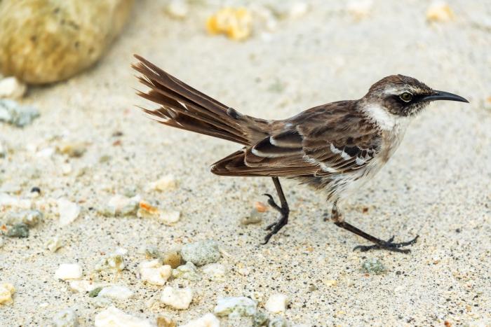 Small brown bird on Genovesa Island in the Galapagos Islands in Ecuador