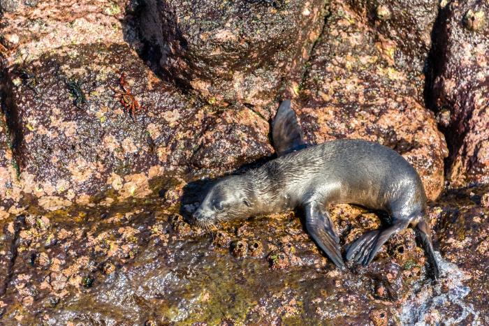 Baby sea lion on rocks on North Seymour Island in the Galapagos Islands in Ecuador