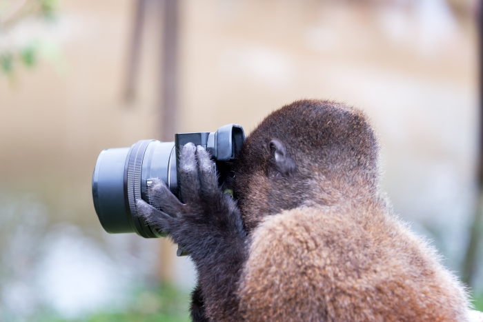 Woolly monkey using a camera in the Amazon near Iquitos, Peru