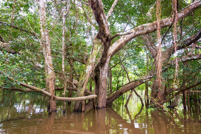Large tree in a flooded area of the Amazon rain forest near Iquitos, Peru